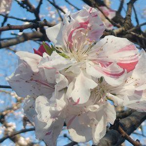 蕨の桜 わらびのサクラ